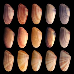 Variation of individuals of the same species of mussel.