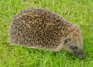 The hedgehog has spiky spines. This evolutionary adaptation helps protect it from predators.