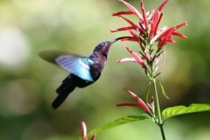 The humming bird has a long tongue. This evolutionary adaptation helps it to reach nectar deep inside flowers.